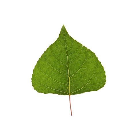 poplar tree leaf buy standing poplar trees in michigan timber