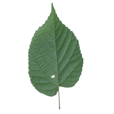 basswood leaf buyers of standing  timber buy basswood trees michigan